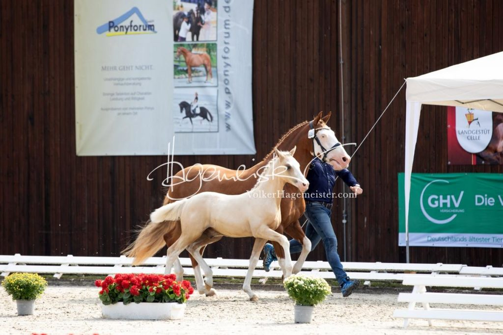 Deutsches Reitpony Fohlenchampionat 36