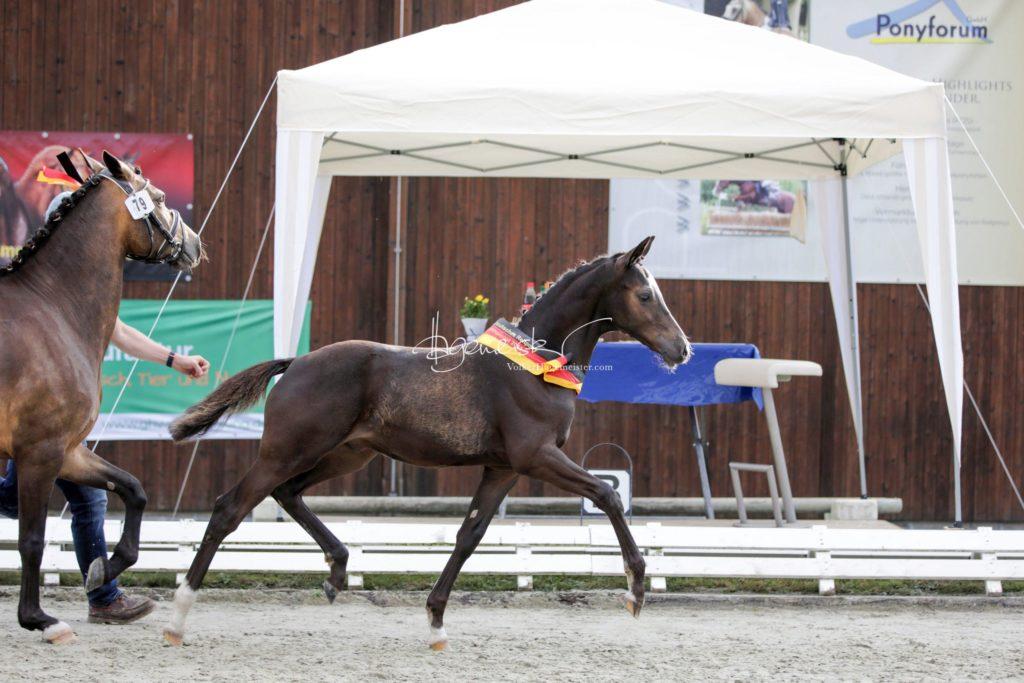 Deutsches Reitpony Fohlenchampionat 26